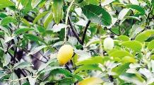 熟透的芒果成了天降的麻煩